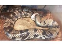 Adult female pink hypo false water cobra