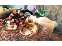 Sale is in North London, London | Reptiles For Sale - Gumtree