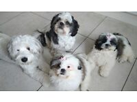 3 beautiful female KC Registered Shih Tzu pups 16wks old ready for their forever home