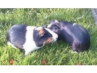 Guinea pig babys