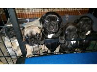 KC French Bulldog puppies 1 boy 4 Girls inc Blue/Sable