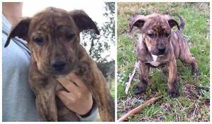 Male Puppies For Sale! Tharwa Tuggeranong Preview