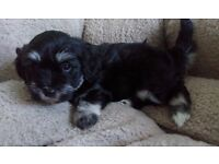 Pure Havanese small breed puppies- only one boy left