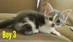 Kittens dsh x ragdoll
