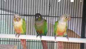 Pineapple conure for sale $ 160 for each Salisbury Salisbury Area Preview