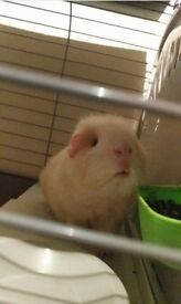 beautiful male guinea pig + cage and everything you need