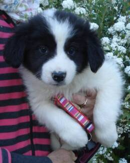 Cute as and as smart as - purebred border collie pups ready now Silverdale Wollondilly Area Preview
