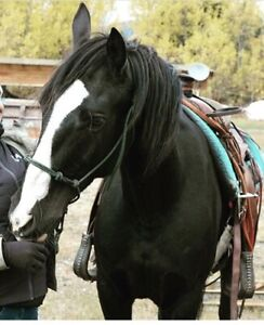 Pleasure thoroughbred x draft riding horse