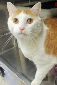 "Adult Male Cat - Domestic Short Hair-Tabby: ""Floyd"""