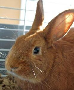 "Adult Male Rabbit - Bunny Rabbit: ""Shu"""