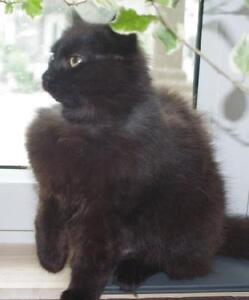 "Young Female Cat - Domestic Long Hair-black: ""Malia"""