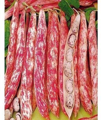 BEAN  CLIMBING 'BORLOTTO LINGUA DI FUOCO 2' - 60 SEEDS - ORGANIC / (Borlotto Bean)