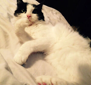 Free cat to a good home Cambridge Kitchener Area image 10