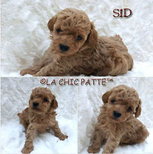 BEAUTIFUL TCUP, TINY TOY, TOY POODLE PUPPIES