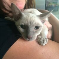 Affectionate Lilac Male Siamese Kitten For Sale