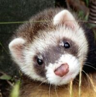 Wanted: ferret!
