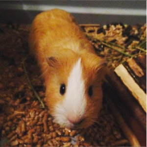 Male Guinea Pig (Price Reduced!)