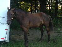SALE ON THIS WEEKEND!! Tennessee Walker (s)