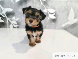 Yorkshire Terrier Puppy Girls (1 left)