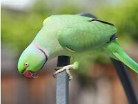 XxX Amazing Indian Ringneck talking Parrot Only £130 XxX