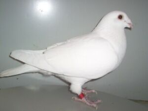 WANTED:  Homing Pigeons.