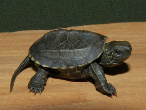 Baby Reeve's and Pink Belly Sideneck Turtles