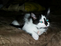 Manx X male kitten with everything you need....