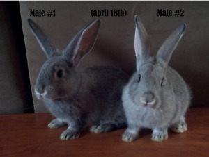 Pure Flemish kits forsale big beautiful bunnies ready now!