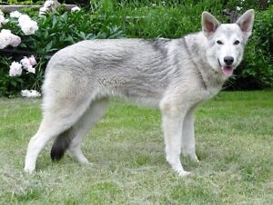 One of a kind stunning white sable Shepherd - looks like a wolf!