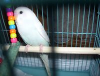 perruche male opaline bleu poudre ailes blanches 5 semaines