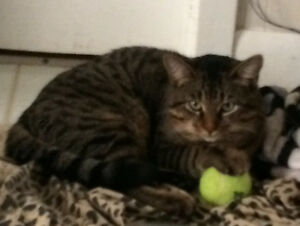Male cat Windsor Region Ontario image 1