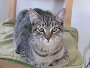 Classic American Silver Tabby for rehoming