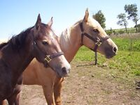 quarter horse fillies