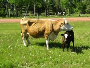 Two Beef Cows each with 1 Calf