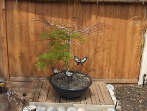 Green Laceleaf Japanese Maple, great price and no tax  :)