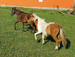 Beautiful Miniature mare B AMHR reg. Bred to driving