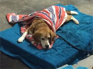 Lost beagle Noosaville Noosa Area Preview