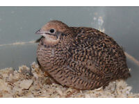 Chinese Painted Quail hens - £5 each