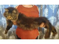 Mainecoon cats (update female sold)