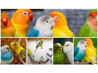 Colorful budgies and lovebirds