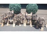 Blue and Tan French Bulldog puppies for sale. KC REGISTERED