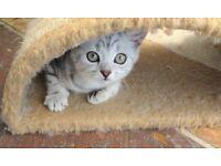 Really handsome British shorthair kitten