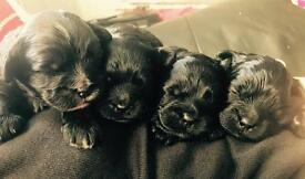 Gorgeous Shihpoo puppies 2 boys and 1 girl