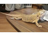 Bearded dragon £15