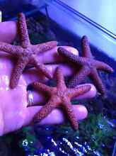 STARFISH CHEAP FOR MARINE AQUARIUMS Roleystone Armadale Area Preview