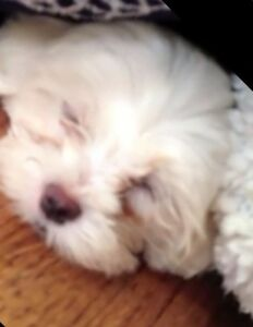 Toy poodle X Maltese Puppies m&f Kinross Joondalup Area Preview