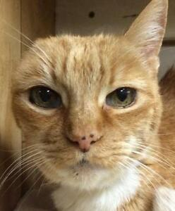 "Senior Female Cat - Tabby - Orange: ""Eliza"""