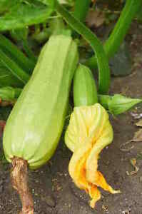 Heirloom Squash Seeds - Canada - FREE SHIPPING over $50