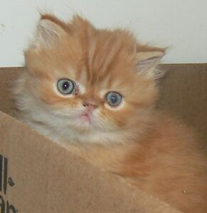 PRETTY LIL REGISTERED PERSIANS Kitchener / Waterloo Kitchener Area image 3