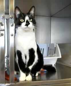 "Adult Male Cat - Domestic Short Hair-black and white: ""Hobbit"""